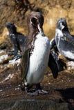 Een mendiculus die van de Pinguïnspheniscus van de Galapagos op een rots met mariene leguanen op de achtergrond, Isabela Island g Stock Afbeeldingen