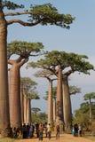 Een menigte in de steeg van Baobabs, Madagascar Royalty-vrije Stock Afbeelding