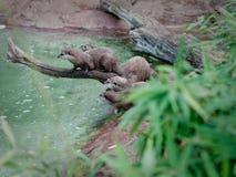 Een menigte van meerkats op een tak royalty-vrije stock afbeeldingen