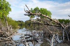 Een mening door droge mangrove Stock Foto