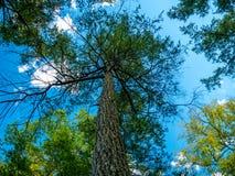 Een mening van de bodem op een verbazende boom wat betreft de hemel en de wolken stock foto's