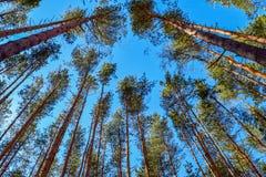 Een mening van de bovenkanten van de boomstammen van de pijnboomboom in de vroege lente in het zonlicht Stock Afbeeldingen