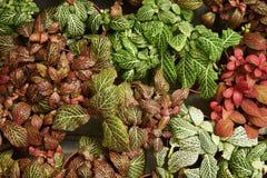 Een mening van hierboven van de kleurrijke Phytonia-struiken royalty-vrije stock afbeelding