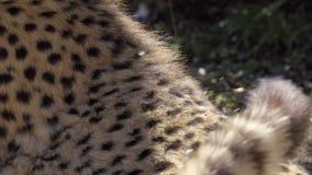 Een mening van jachtluipaardbont stock videobeelden