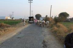 Een mening van landweg in Punjab, de koeien en de mensen zijn samen royalty-vrije stock fotografie