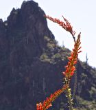 Een mening van een Ocotillo-cactusbloem tegen Picacho Peqak stock afbeeldingen