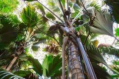Een mening van onderaan naar omhoog over de Coco DE Mer palmen Het Vallee DE MAI palmbos, Praslin-eiland, Seychellen royalty-vrije stock foto