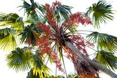 Een mening van een palm van onderaan met rode vruchten in het contralicht stock fotografie