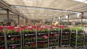 Een mens berijdt een vorkheftruck door een pakhuis met bloeiende bloemen, een groot serrepakhuis voor het kweken van bloemen stock footage