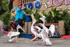 Een mens die aan hongerige Pelikanen voeden stock afbeelding
