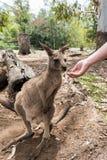 Een mens die een wallaby voeden Stock Afbeeldingen