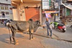 Een mens die een koe in het midden van een straat voeden royalty-vrije stock foto