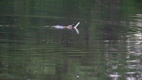 Een mens in een aqualong ligt in het water en duikt dan stock videobeelden