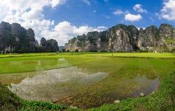 Een mens en geiten in padieveld in ninh binh, Vietnam stock foto's