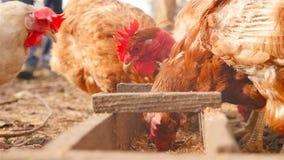 Een mens het voeden kippenkorrel stock video