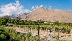 Een mens loopt in een weg naast een wijngaard Royalty-vrije Stock Afbeelding