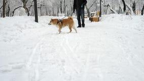 Een mens loopt met een hond sneeuwval De hondschokken van de sneeuw De winter Inu van Shiba stock footage