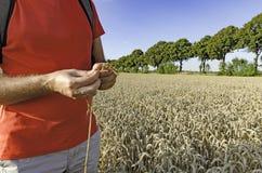 Een mens met een oor die van tarwe zich op het gebied bevinden Royalty-vrije Stock Fotografie