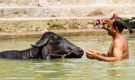 Een mens met een stier in een vijver Stock Foto