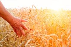 Een mens met van hem terug naar de kijker op een gebied van tarwe raakte door de hand van aren in het zonsonderganglicht Het conc royalty-vrije stock afbeeldingen