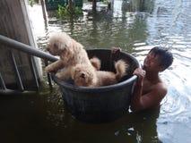 Een mens neemt zijn honden aan veiligheid in een overstroomde straat van Pathum Thani, Thailand, in Oktober 2011 stock foto