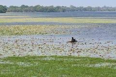 Een mens op het meerwater verzamelt leliebloemen Royalty-vrije Stock Foto