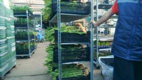 Een mens trekt een rek met tulpenboeketten in dozen stock footage