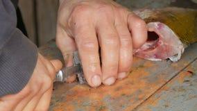 Een mens een visser snijdt een vis van levendige grote vissen die enkel in stukken worden gevangen Het schoonmaken zoetwatervisse stock videobeelden