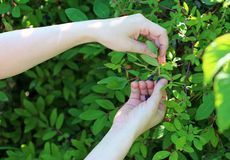 Een menselijke hand bereikt voor rijpe blauwe bessen van eetbare kamperfoelie op een tak De oogst royalty-vrije stock fotografie