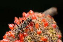 Een mier die en op het rode zaad van de fruitbloem lopen eten Stock Foto