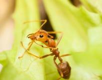 Een mier op blad in de tuin Stock Afbeeldingen