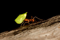 Een mier van de bladsnijder Stock Fotografie