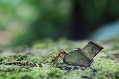 Een mier van de bladsnijder klaar om een stuk van een verlof op te heffen vier keer zijn eigen grootte royalty-vrije stock afbeeldingen