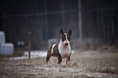 Een minibull terrier-hond die zich op een gebied bevindt Stock Foto's