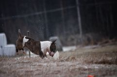 Een minibull terrier-hond die zich op een rots bevinden Stock Foto's