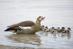Een moeder Egyptische Gans met haar zeven babys royalty-vrije stock foto
