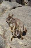 Een moeder en een kind van rotswallabys Stock Fotografie