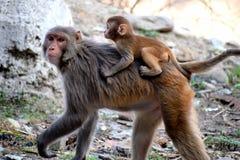 Een moederaap die haar baby op rug vervoeren royalty-vrije stock afbeeldingen