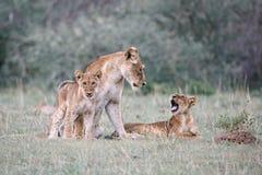 Een moederleeuw en haar 2 welpen royalty-vrije stock afbeeldingen