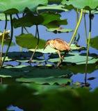 Een moederloog in lotusbloemstammen royalty-vrije stock foto