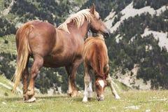 Een moederpaard en zijn veulen Stock Fotografie