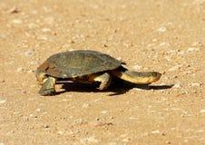 Een moerasschildpad kruist de weg royalty-vrije stock foto