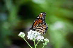 Een monarchvlinder het drinken nectar van witte bloemen royalty-vrije stock foto's