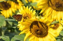 Een Monarchvlinder in het midden van in Anderson Sunflower Farm stock afbeeldingen