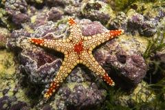 Een monilis Elegante overzeese van zeesterfromia ster Stock Foto