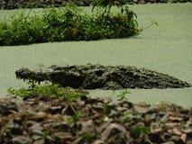 Een Mooi Beeld van een grote krokodil of gharial in een meer stock fotografie