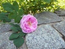 Een mooi besnoeiingsroze nam leugens op een grijze steen in de tuin toe stock foto's