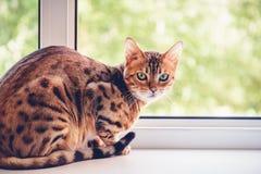 Een mooi bevlekt zuiver Bengaals kattenras zit op windowsil stock foto