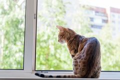Een mooi bevlekt zuiver Bengaals kattenras zit op windowsil royalty-vrije stock afbeeldingen