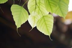 Een mooi blad van de lentebodhi met bokehachtergrond Stock Foto